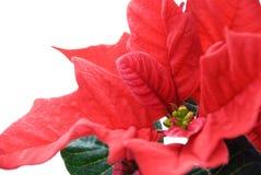 一个红色冬天的特写镜头上升了 免版税库存图片