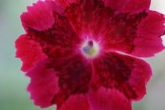 一朵红色木槿花的宏观射击在明亮的背景中 库存图片