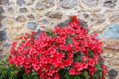 一朵红色杜娟花的大灌木 库存图片