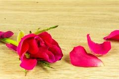 一朵红色玫瑰和上升了叶子 库存图片