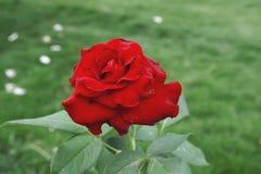 一朵红色玫瑰早晨 库存照片