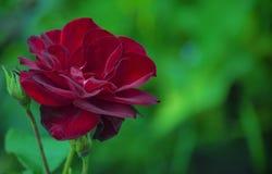 一朵红色玫瑰的天鹅绒花在绿叶背景的  库存图片