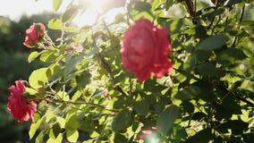 一朵红色玫瑰的开花的灌木 影视素材