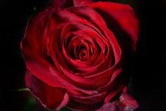 一朵红色玫瑰的照片在黑背景的在演播室 墙纸 库存图片