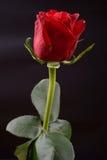 一朵红色玫瑰的照片在黑背景的在演播室 点燃  库存照片