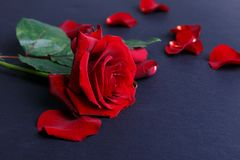 一朵红色玫瑰的特写镜头与下落的瓣的在黑背景说谎 免版税库存图片