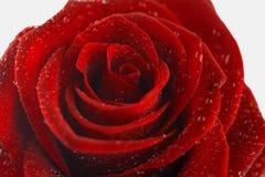 一朵红色玫瑰的花在白色背景的 免版税图库摄影