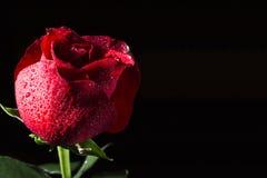 一朵红色玫瑰的花在黑背景的 免版税图库摄影