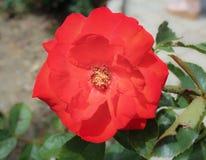 一朵红色玫瑰的花 库存图片