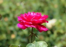 一朵红色玫瑰的花 免版税库存图片