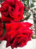 一朵红色玫瑰的花 免版税库存照片