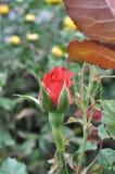 一朵红色玫瑰的芽 免版税图库摄影