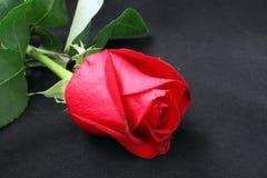 一朵红色玫瑰的芽 图库摄影