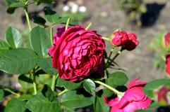 一朵红色玫瑰的面孔在城市庭院里 免版税库存图片