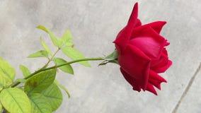 一朵红色玫瑰花 免版税库存图片