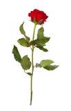 一朵红色玫瑰 库存照片