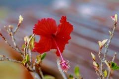 一朵红色花在村庄庭院里 免版税库存图片