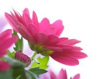 一朵红色花的宏观图象 免版税库存照片