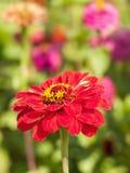 一朵红色花的特写镜头在一个绿色领域的与五颜六色的花 库存图片