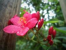一朵红色花的细节与水下落和黄色花粉的 免版税库存照片