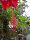 一朵红色花的花粉 库存照片