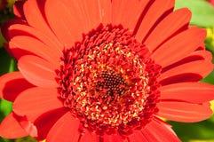 一朵红色花的Marco细节 免版税图库摄影