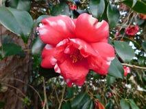 一朵红色花 免版税库存图片