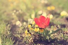 一朵红色郁金香花的特写镜头照片在公园 免版税库存照片