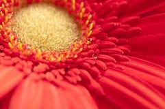 一朵红色雏菊的黄色雌蕊心脏的宏指令 库存图片
