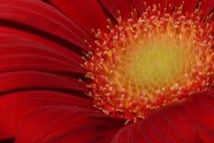 一朵红色雏菊花的明亮的特写镜头 免版税库存照片