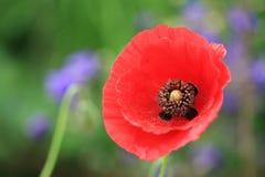 一朵红色鸦片花在庭院里 库存图片