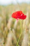 一朵红色鸦片花有成熟麦田defocused背景  库存图片