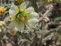 一朵绿色Cholla仙人掌花在沙漠 免版税库存照片