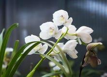 一朵罕见的白色兰花 库存照片