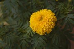 一朵美丽的万寿菊花 图库摄影