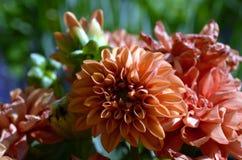 一朵美丽的大丽花的特写镜头 库存图片