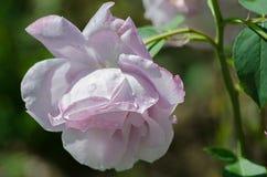 一朵美丽的大紫色玫瑰在新鲜的a的庭院里增长 免版税库存图片