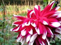 一朵美丽的大花 免版税库存照片