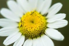 一朵美丽的小的花的特写镜头与黄色花粉和白色瓣的 库存图片