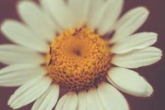 一朵美丽的小的花的特写镜头与黄色花粉和白色瓣的 免版税库存图片