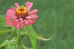 一朵美丽的开花的桃红色百日菊属花 库存照片