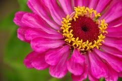 一朵美丽的开花的桃红色百日菊属花 免版税图库摄影