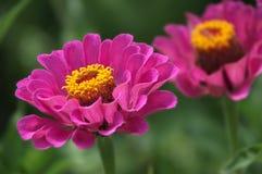 一朵美丽的开花的桃红色百日菊属花 免版税库存图片