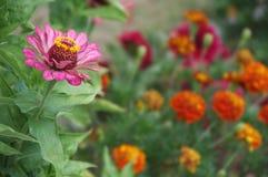 一朵美丽的开花的桃红色百日菊属花 免版税库存照片