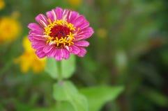 一朵美丽的开花的桃红色百日菊属花 库存图片