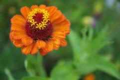 一朵美丽的开花的橙色百日菊属花 免版税库存照片