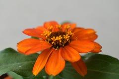 一朵美丽的开花的百日菊属花的宏观射击在一家庭菜园的在南约旦,犹他 图库摄影