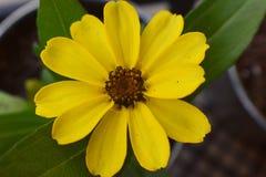 一朵美丽的开花的百日菊属花的宏观射击在一家庭菜园的在南约旦,犹他 免版税库存图片