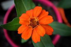 一朵美丽的开花的百日菊属花的宏观射击在一家庭菜园的在南约旦,犹他 库存照片