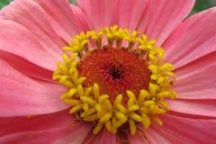 一朵美丽的开花的红色百日菊属花 库存照片